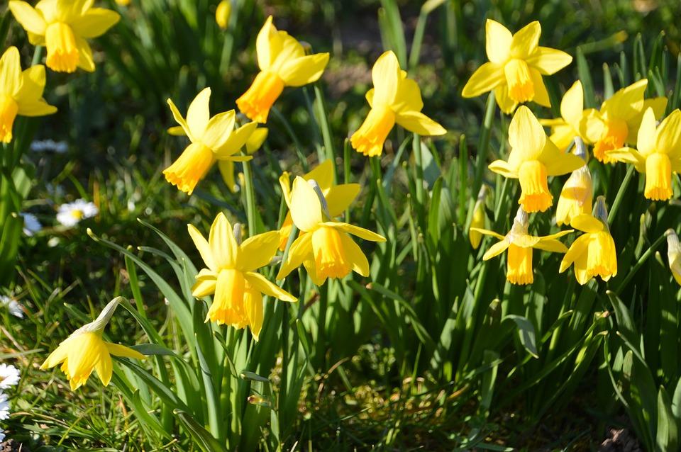 daffodil 4026419 960 720 Zamość: Wspólne sadzenie cebulek żonkili