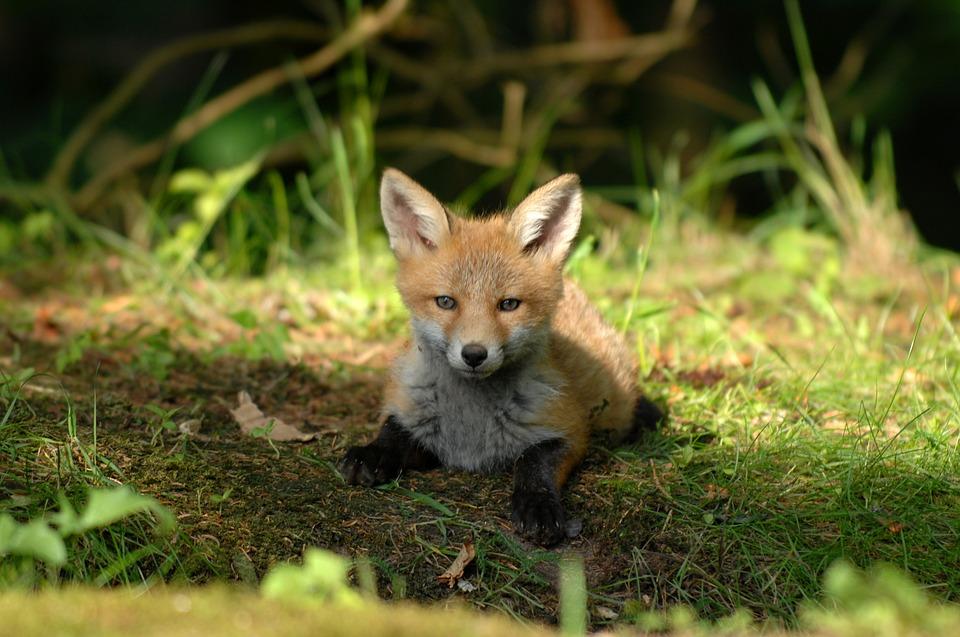 mammals 3231922 960 720 Wkrótce jesienna akcja szczepienia lisów przeciwko wściekliźnie. Nie wolno dotykać szczepionek!
