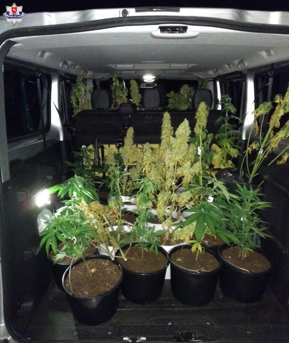 marihuana Pół kilograma suszu i 43 krzaki marihuany