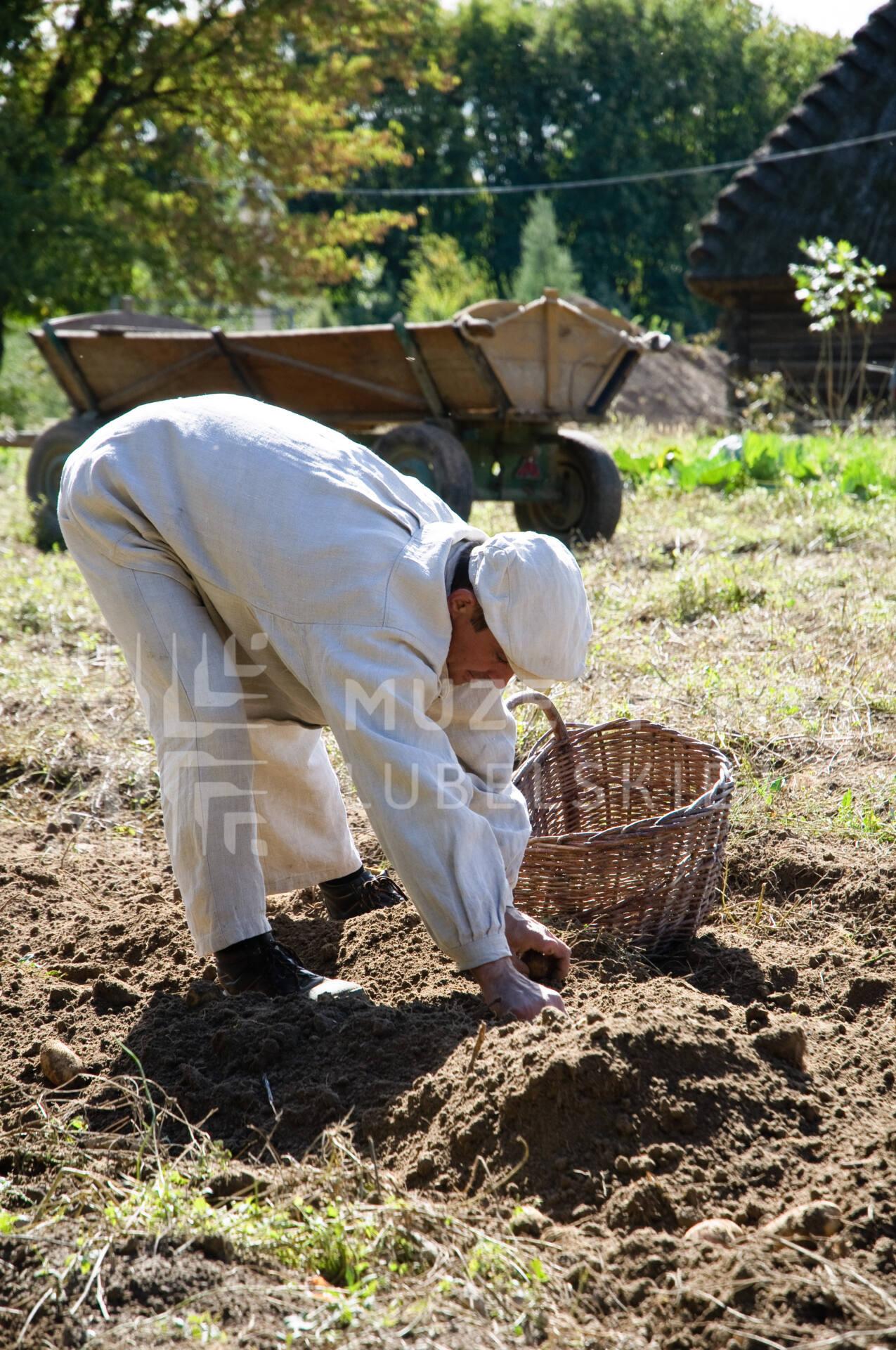 wykopki 1 fot k wasilczyk W niedziele 20 września wykopki kartoflane