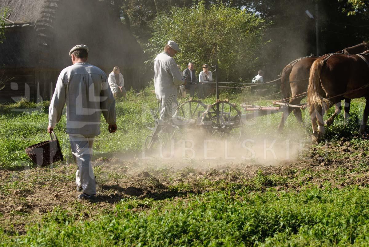 wykopki 2 fot k wasilczyk W niedziele 20 września wykopki kartoflane