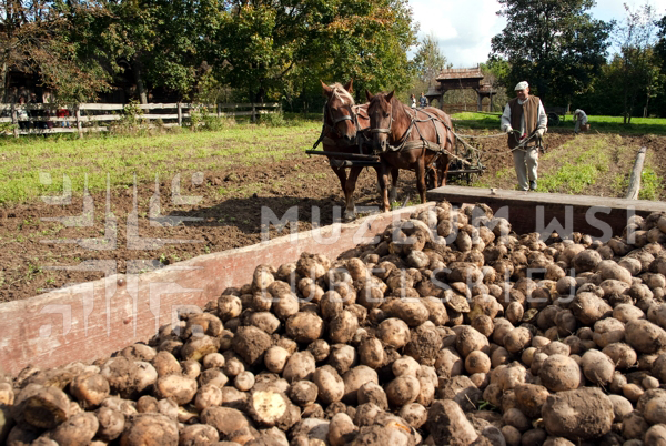 wykopki 3 fot k wasilczyk W niedziele 20 września wykopki kartoflane