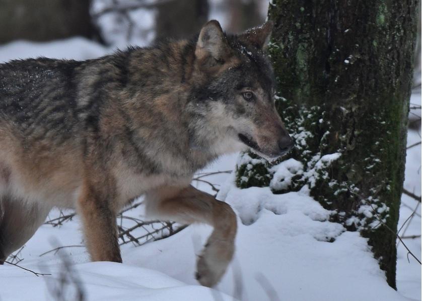 zrzut ekranu 2021 01 11 o 114013 Policjanci ustalili, kto zabił Kosego, wilka z Roztoczańskiego Parku Narodowego