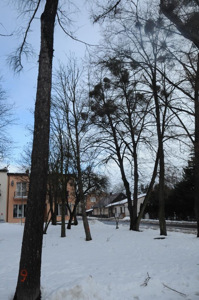 wycinka drzew plac tadeusza kosciuszki rys 3 Wytną drzewa, ale posadzą nowe