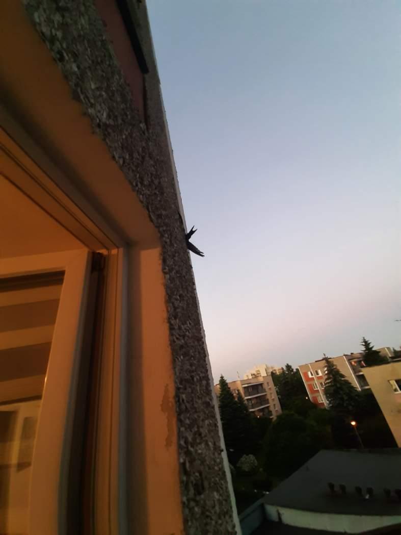resized 20210618 210346 ZAMOŚĆ: Strażacy uratowali uwięzionego jerzyka.